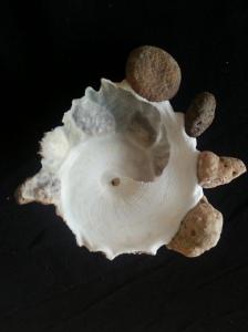 綴殼螺 (Xenophora pallidula)
