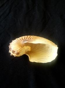 闊船蛸 Argonauta hians