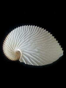 扁船蛸 Argonauta argo