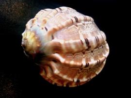 大楊桃螺 (Harpa Major)