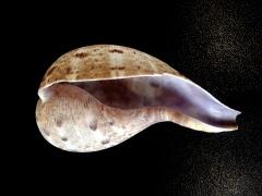 小琵琶螺 (Ficus subintermedius)