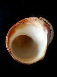 南非蠑螺 (Turbo sarmaticus)