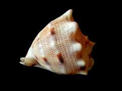 唐冠螺 (Cassis Cornuta)