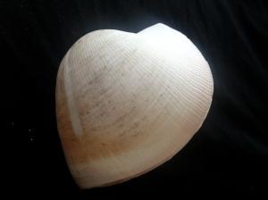 圓魁蛤 (Cucullaea labiata)