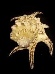 水字螺 (Harpago chiragra)