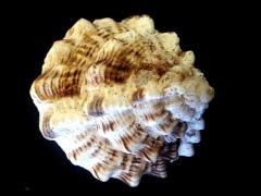 鷸頭骨螺 (Haustellum haustellum)