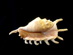 千足蜘蛛螺  (Lambis millepeda)