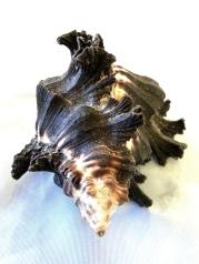 骨螺科 (Muricidae)