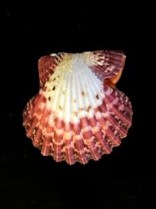 油畫海扇蛤 (Cryptopecten pallium)
