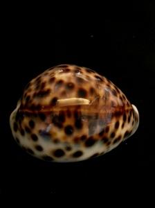 黑星寶螺  (Cypraea tigris)