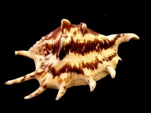 蜘蛛螺 (Lambis)