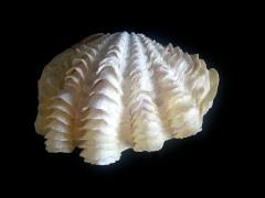 長硨磲蛤 (Tridacna Maxima)