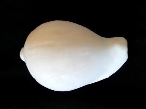 海兔螺 (Ovula ovum)