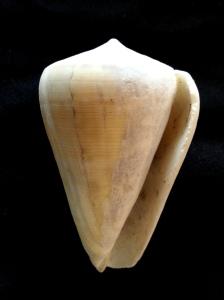 芋螺科 (Conidae)