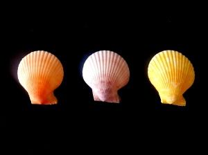 海扇蛤科 (Pectinidae)