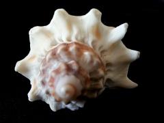 皇冠黑香螺 (Melongena corona)