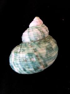 銀口蠑螺 (Turbo argyrostomus)