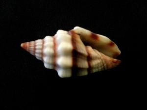 黑帶蛹筆螺 (Vexillum rugosum)