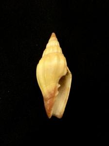 小狐狸蛹筆螺 Vexillum vulpecula