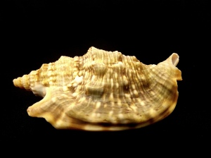 緋袖鳳凰螺 Strombus aurisdianae