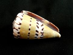 鼬鼠芋螺 (Conus mustelinus)