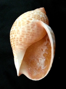 鶉螺  (Tonna perdix)