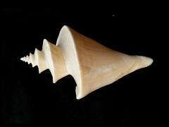 旋梯螺  (Thatcheria  mirabilis)