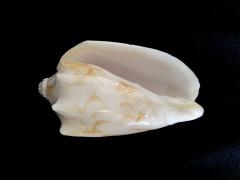蝙蝠渦螺 (Cymbiola vespertilio)