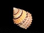 金塔玉黍螺 Tectarius coronatus