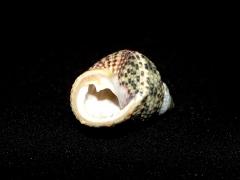 交織鐘螺 Monodonta turbinata