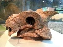 恐龍廳-真板頭龍頭骨