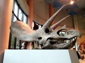 恐龍廳-三角龍頭骨 (Triceratops)