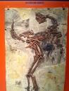 恐龍廳-鄒氏尾羽龍 (Caudipteryx zoui)