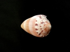 陽剛芋螺 (Conus circumcisus)