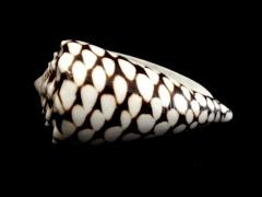 大理石芋螺 (Conus marmoreus)