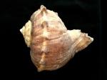 白皺岩螺 Rapana rapiformis