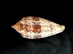 長芋螺 (Conus australis)