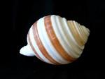 褐帶鶉螺 (Tonna sulcosa)
