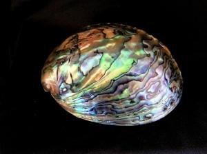 紐西蘭鮑螺 (Haliotis iris)