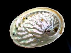 旋風黑鮑螺 (Haliotis rubra conicopora)