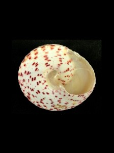 紅斑鐘螺 (Tectus conus)