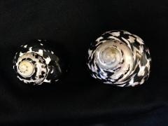 加勒比海鐘螺 (Cittarium pica)