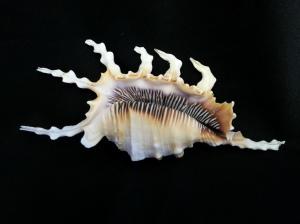 蠍螺 (Lambis scorpius)