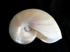 鸚鵡螺 (Nautilus pompiplius)
