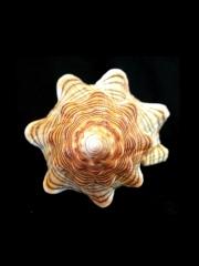 大赤旋螺 (Pleuroploca trapezium paeteli)