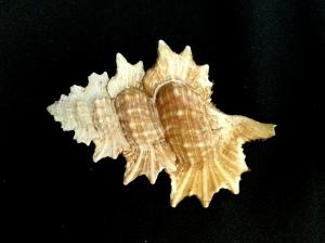 翼法螺 (Biplex perca)