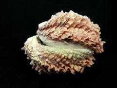 葉片偏口蛤 (Chama macerophylla)