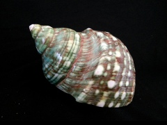 台灣蠑螺 (Turbo sparverius)