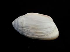 中華大耳螺 (Ellobium chinense)