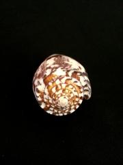 細線芋螺 (Conus striatus)